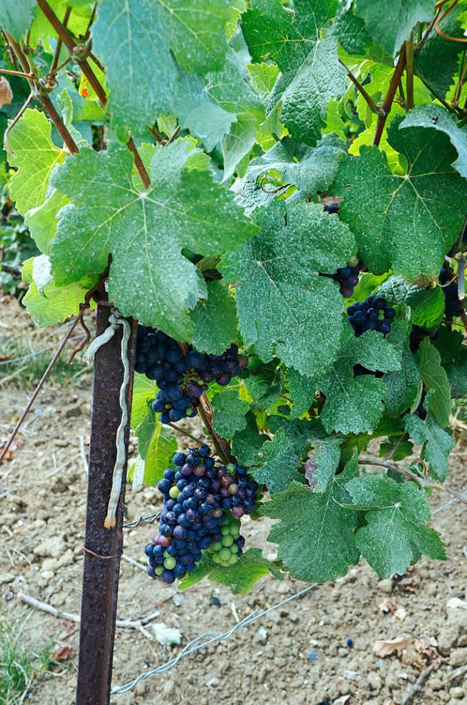 Grapes on Vine (1 of 1)